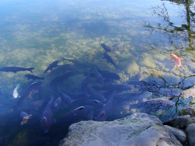 PC280240兼六園/霞ヶ池の親不知付近にいる鯉