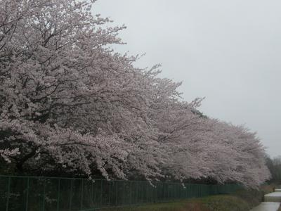 桜P4040043_1280.jpg
